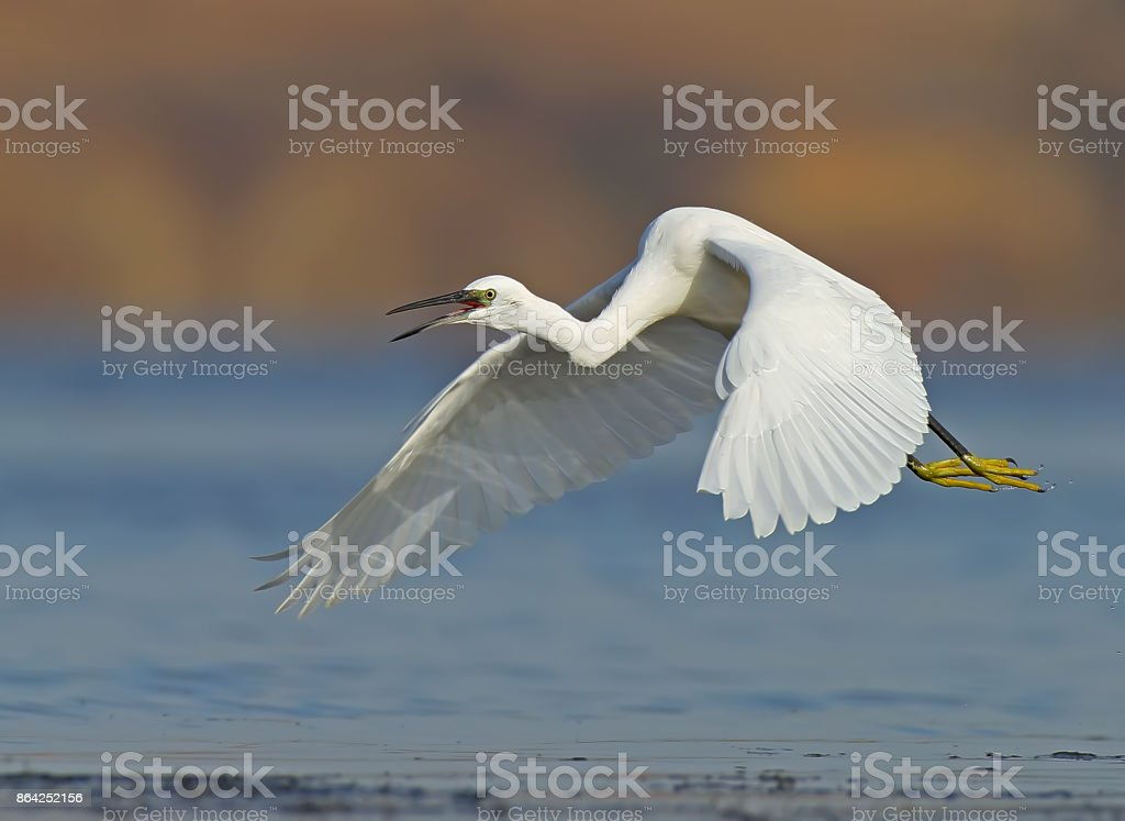 Little white heron in flight with open beak and curved neck royalty-free stock photo