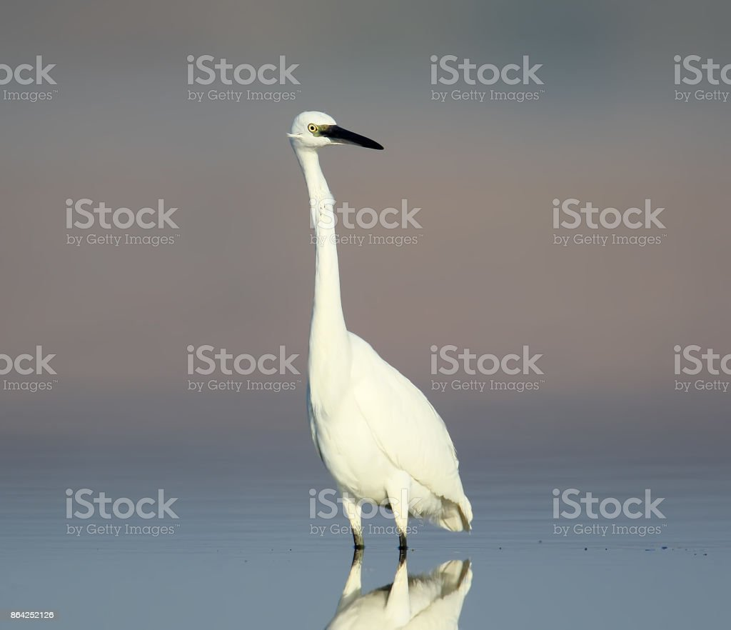 Little white heron on the water with reflection in nice morning light royalty-free stock photo