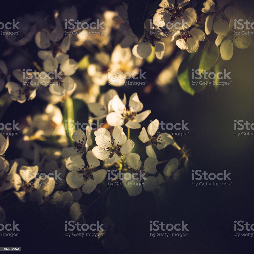 화창한 봄 날에 작은 흰색 배 나무 꽃 royalty-free 스톡 사진