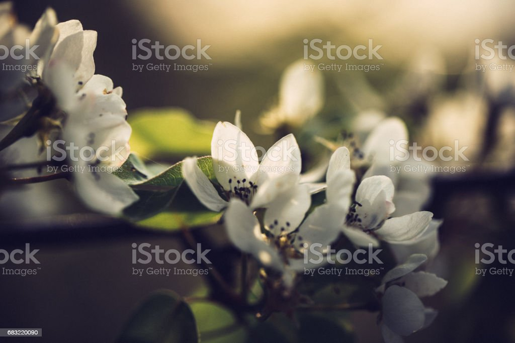Little white pear tree blossoms on a sunny spring day foto de stock royalty-free