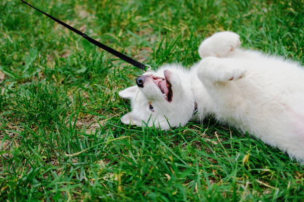 Little white puppy Husky 2 months old is lying tired with paws up on the grass in park. Summer dog walking. stock photo