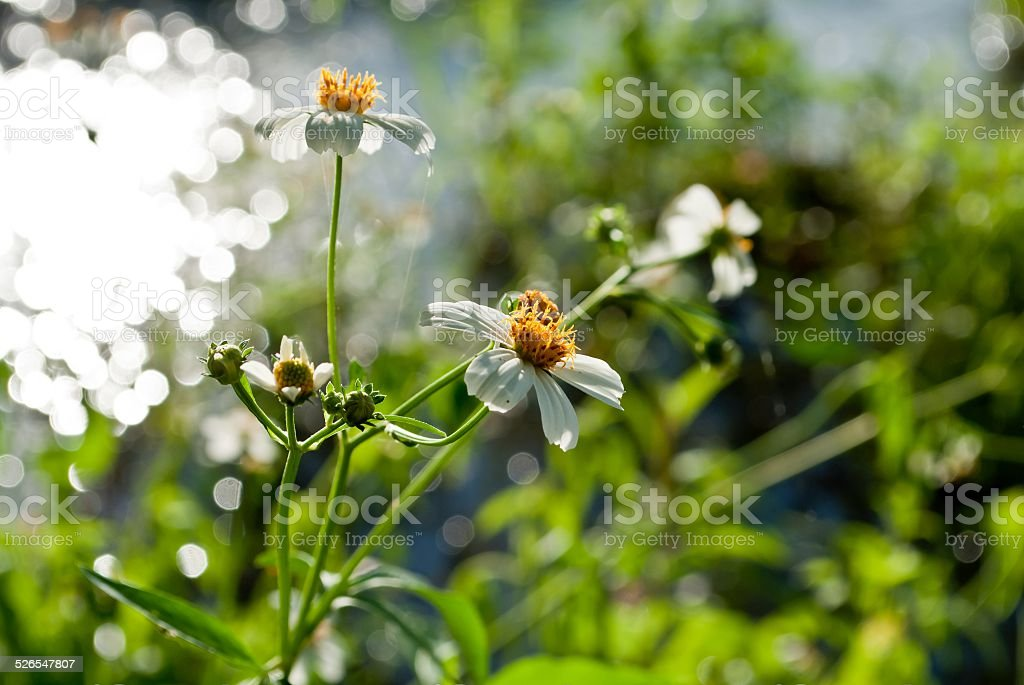 little wihte flowers with bokeh background stock photo
