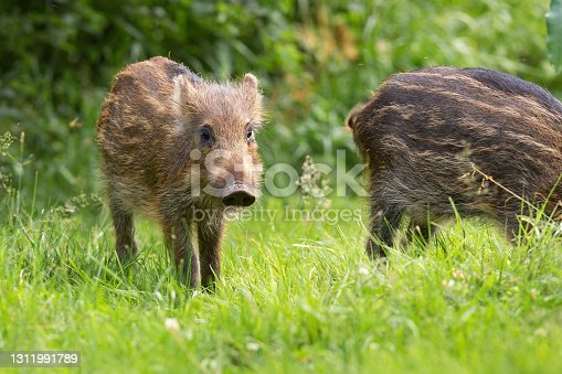 istock Little wild boar standing on grass in spring nature 1311991789