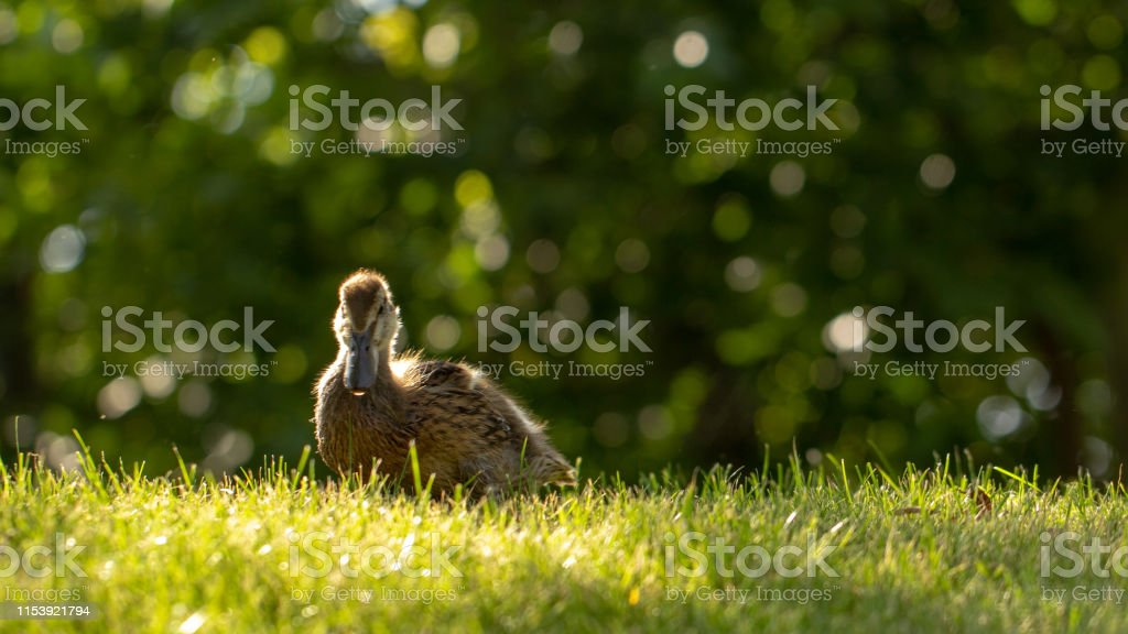 Little wild ducklings walk on the green grass close up