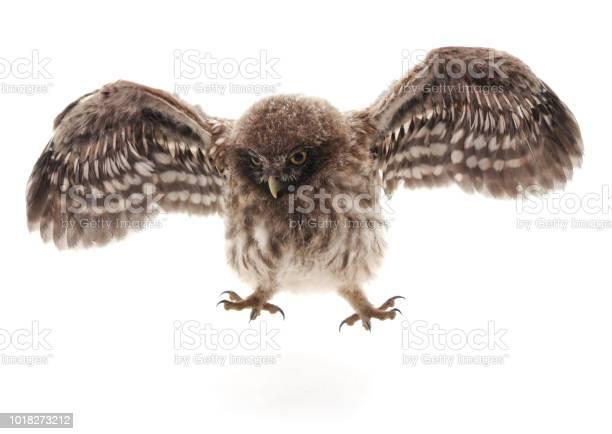 Little wild owl picture id1018273212?b=1&k=6&m=1018273212&s=612x612&h=dqhfhg1cy8wwcgrdb rhhvw28nezipujmn 1rgbkkn8=