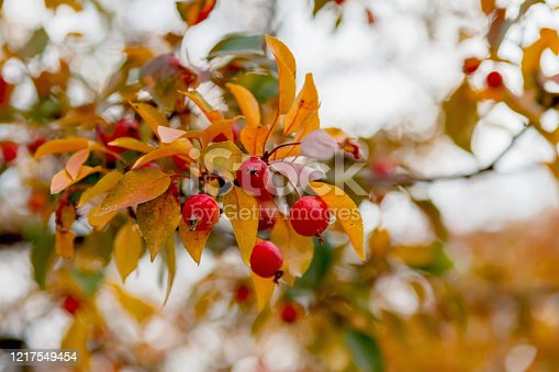 Little wild red apples on a branch with yellow autumn leaves.