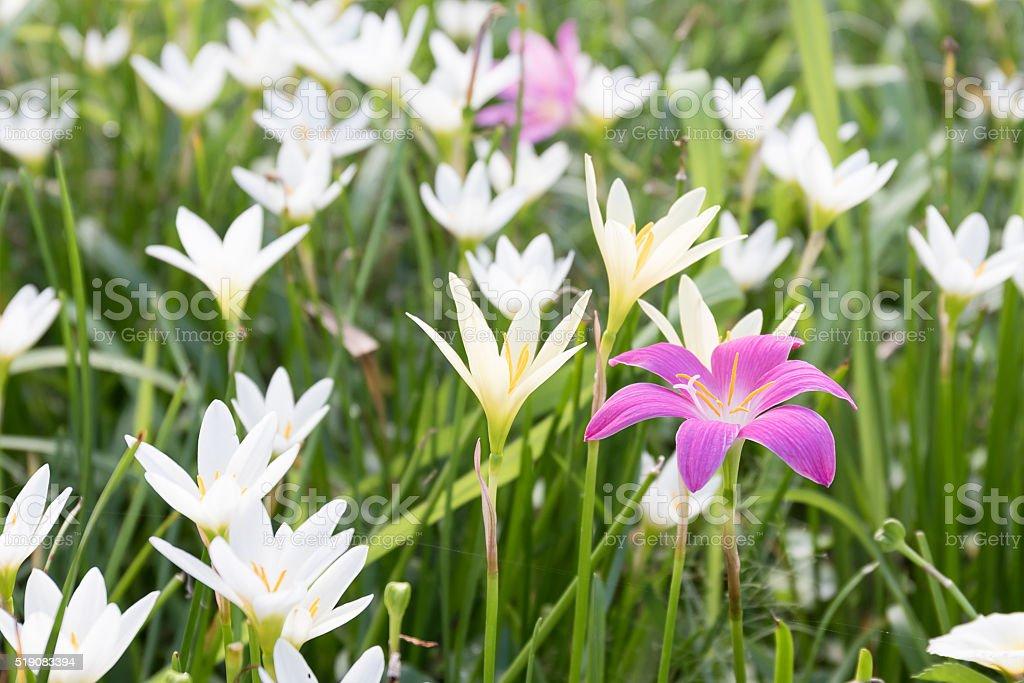 Little Witches flower in garden stock photo