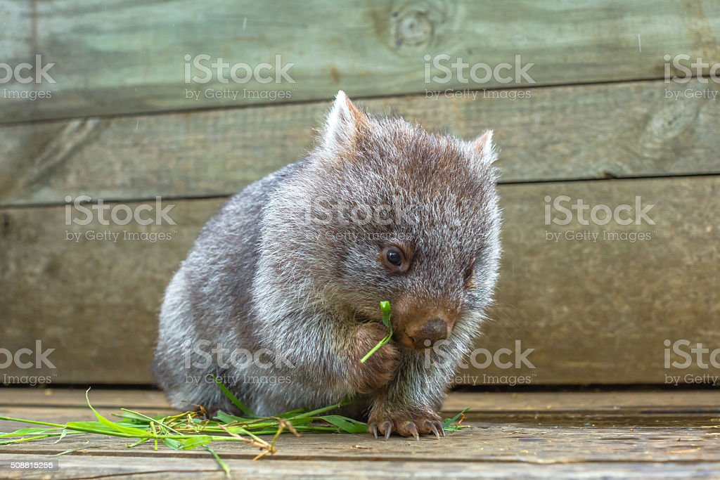 Little Wombat eating stock photo