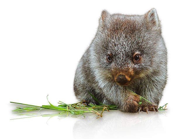 little wombat - wombat stock photos and pictures