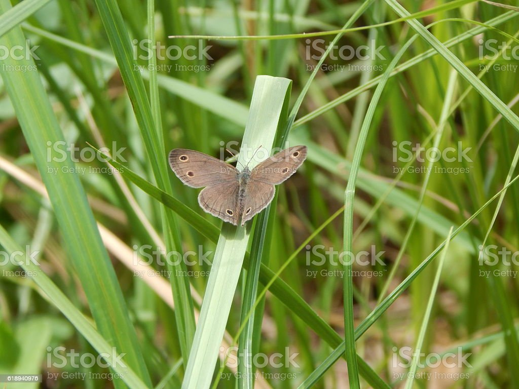 Little Wood Satyr Resting on a Grass Leaf stock photo
