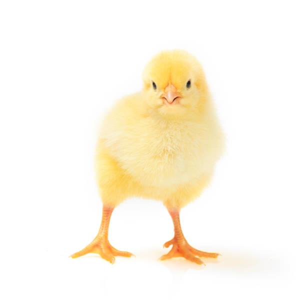 Little yellow chick – Foto