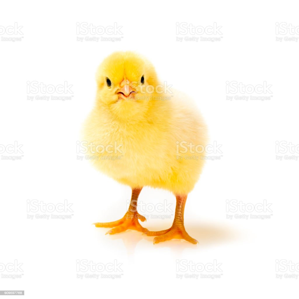 Little yellow chick – Foto
