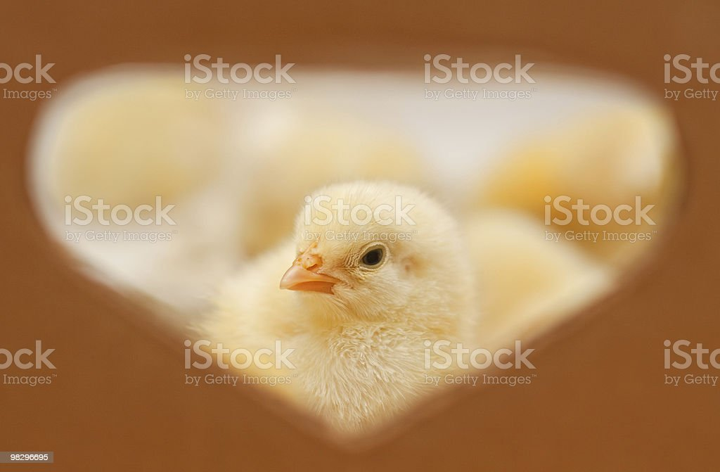 Little yellow chick royalty-free stock photo