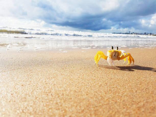 petit crabe jaune - crabe photos et images de collection