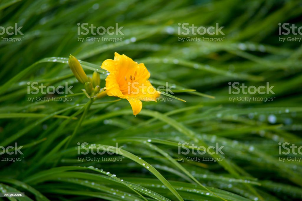 Little yellow day lily flower with buds in the garden, rainy summer morning stock photo