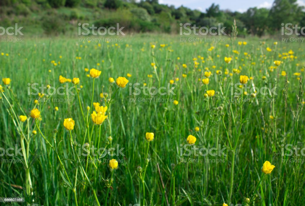 Little yellow flowers sway from the wind in the steppe royalty-free stock photo