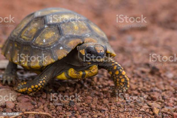 Little yellow footed amazon tortoise in the road of mato grosso state picture id881885336?b=1&k=6&m=881885336&s=612x612&h=i22fobqdhadrbx8ihjblydenhs0jumk6euayuxfkqfw=