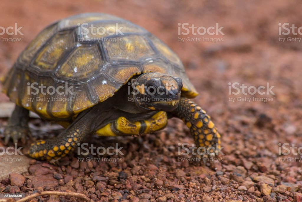 Little Yellow Footed Amazon Tortoise (Geochelone denticulata) in the road of Mato Grosso state - Brazil stock photo