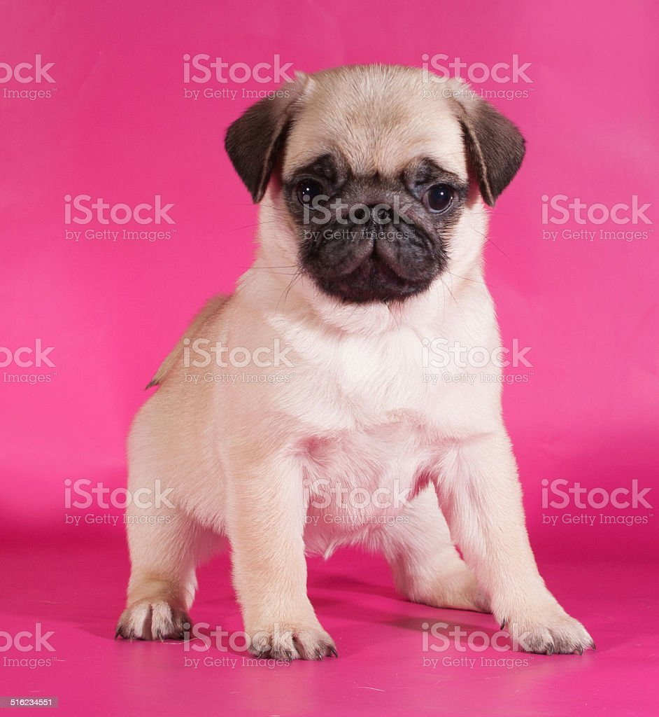 Little Yellow Pug Puppy Sitting On Pink Stock Photo Download Image Now Istock