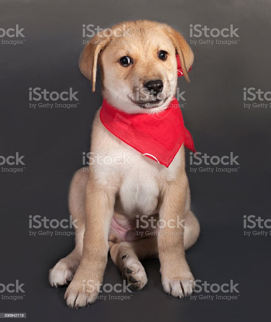 Little yellow puppy in red bandanna sitting on gray stock photo