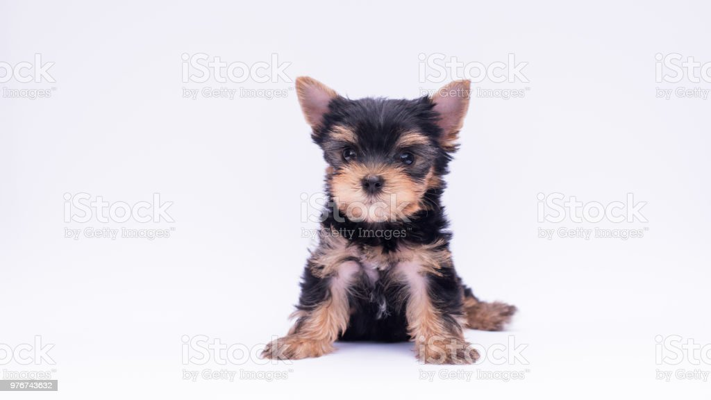 Little Yorkie Good Health Yorkshire Terrier Teacup Sit In The Coffee