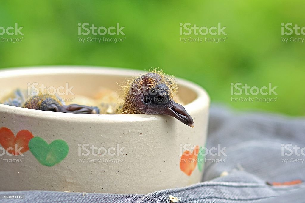 Little young birds in a bird nest, Pigeon stock photo
