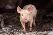 little young pig
