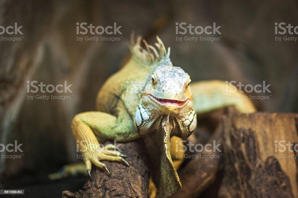live agama lizard bearded dragon stock photo