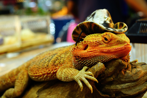 live agama lizard is wearing a cowboy hat (bearded dragon)