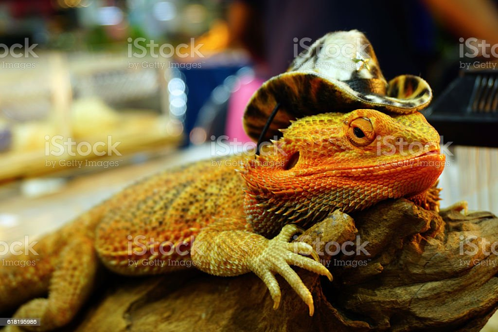 live agama lizard is wearing a cowboy hat (bearded dragon) stock photo