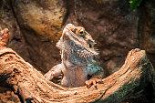 live agama lizard (bearded dragon)