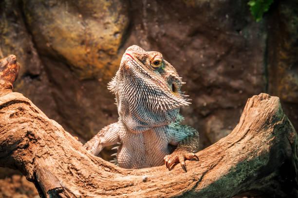 라이브 전경에 도마뱀 - 파충류 뉴스 사진 이미지