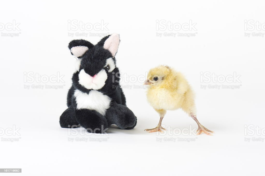 Live Baby Chick With Easter Bunny Stuffed Animal Stock Photo More
