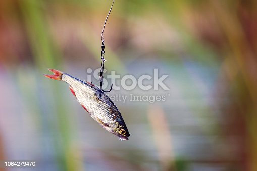 istock Live bait for pike fishing 1064279470