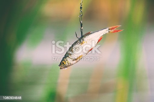 139888169istockphoto Live bait for pike fishing 1080934648