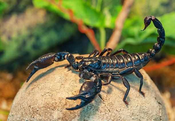 live black scorpion - skorpion stock-fotos und bilder