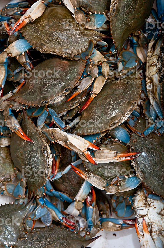 Live Blue Crabs royalty-free stock photo