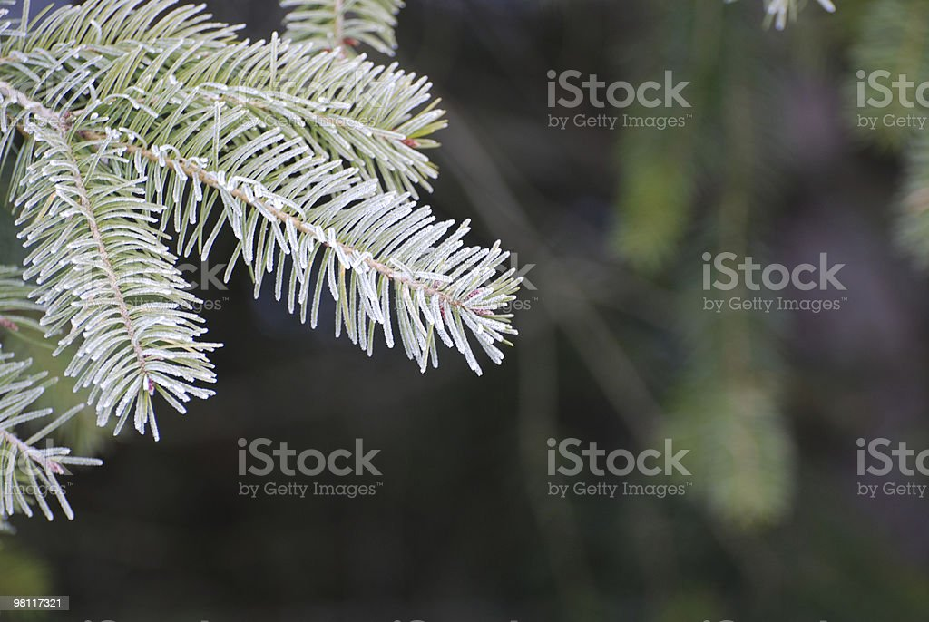 Live Christmas Tree Branch royalty-free stock photo
