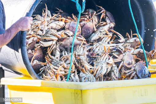Live Crabs Being Dumped into Shipping Container