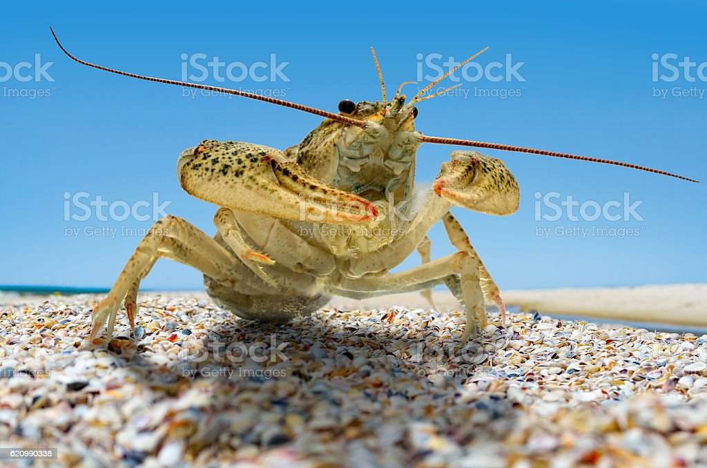 Live crayfish on the beach by the sea. foto royalty-free