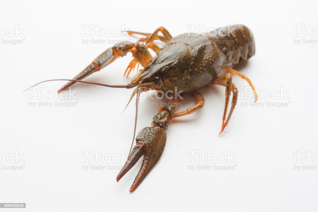 Live crayfish stock photo