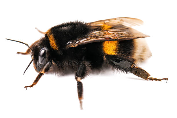 live cute bumblebee on white - bumblebee stock pictures, royalty-free photos & images
