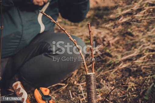 Live cuttings at grafting apple tree in cleft with growing buds, young leaves and flowers. Closeup 2019