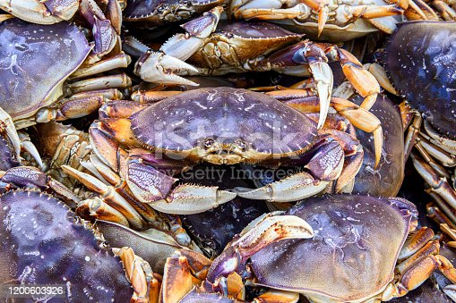 Live dungeness crabs (Metacarcinus magister) being offloaded, from a fishing boat, into a shipping container for transport to market.  Taken in Half Moon Bay, California, USA