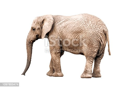 live elephant isolated on white