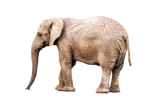live elephant on white stock photo