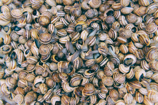 Live fresh shelled snails closeup vintage style. Marrakech foot stalls, Morocco. stock photo