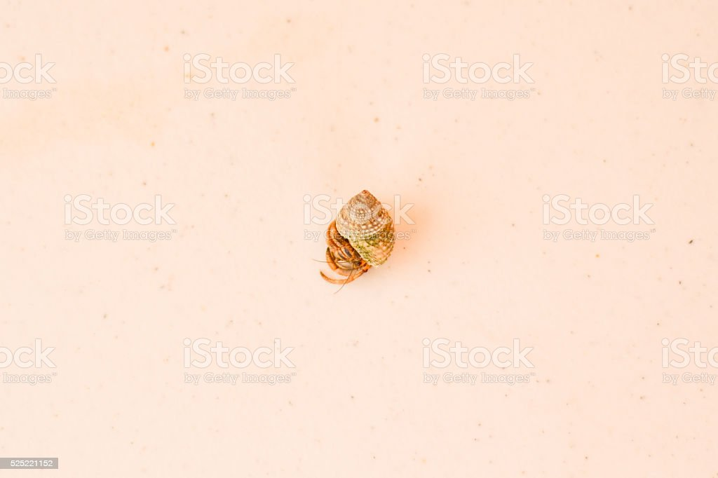 Live Hermit Crab Curled Up in Shell, on Table, Mexico. stock photo