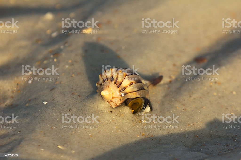Live Lightning Whelk stock photo