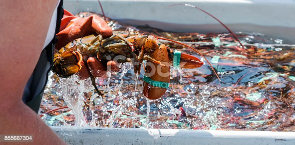 A lobsterman is sorting his freshly caught lobster off of the coast of Maine in his fishing boat.